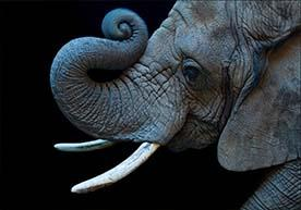 Photo of Elephant's Face