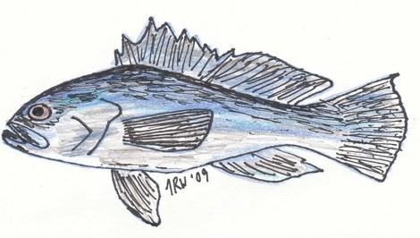 Carolina Black Bass