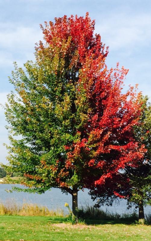 The Mysteries Of Fall Color Ilt Vignocchi Landscape Architects