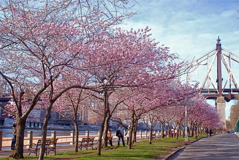 Image result for roosevelt island cherry trees