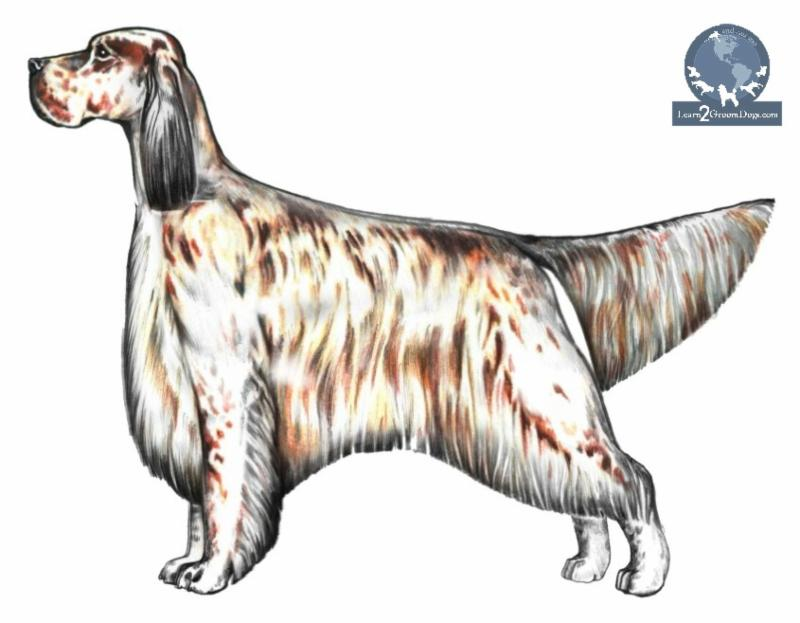 How to Use Anatomy to Groom the English Setter - Learn2GroomDogs.com