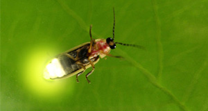 10 Fascinating Facts About Fireflies