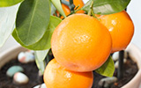 Container Gardening: Growing Citrus