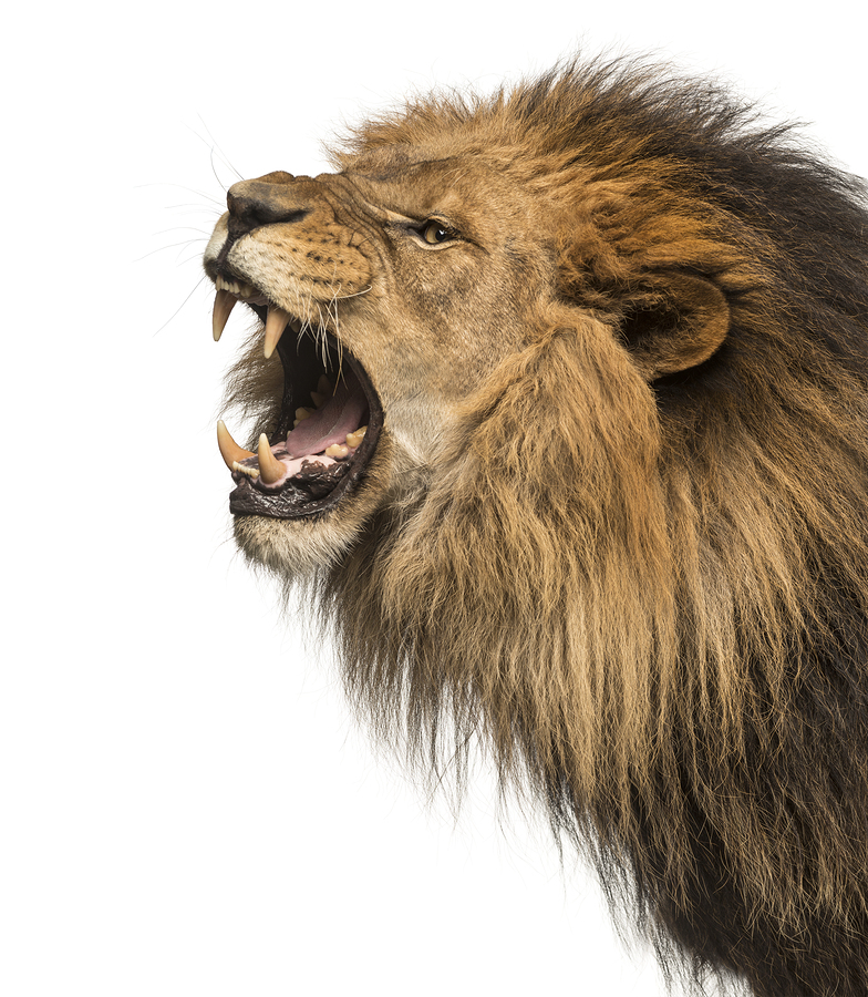 Close-up of a Lion roaring profile_ Panthera Leo_ 10 years old_ isolated on white