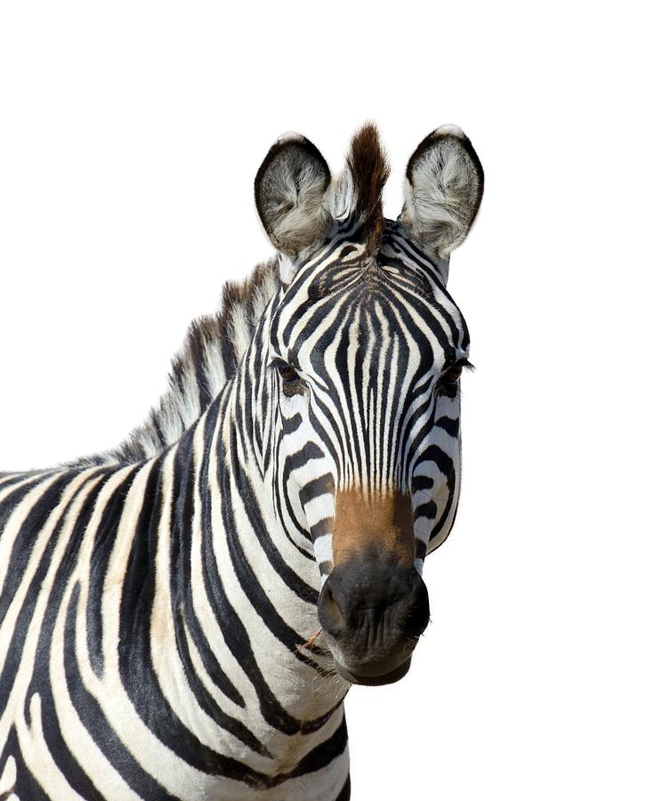 Close portrait zebra isolated on white background