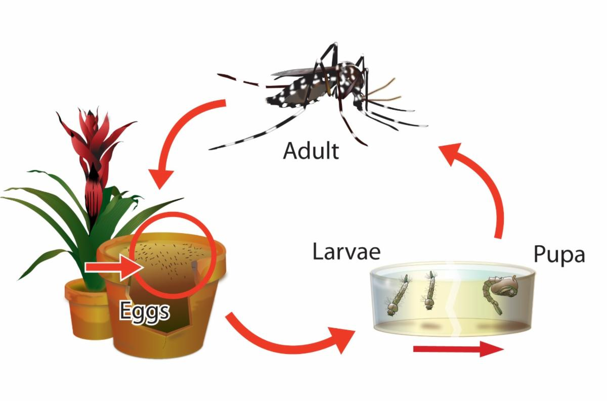 Aedes life cycle.jpg