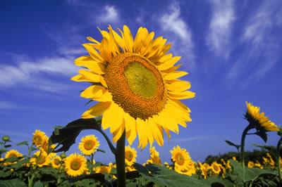 sunflower-2.jpg