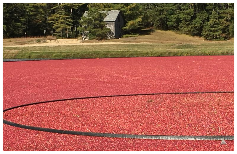 Harvesting Cranberries at Frogfoot Bogs