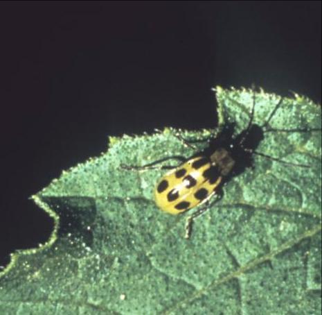 Spotted Cucumber Beetle_ Diabrotica undecimpunctata howardi_ UMass