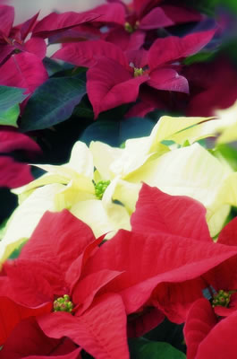 poinsettias.jpg