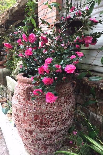 Growing Camellias In Houston 2 3 2018 40