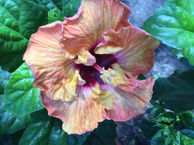 Tropical Hibiscus Bling For Your Garden Maas Nursery