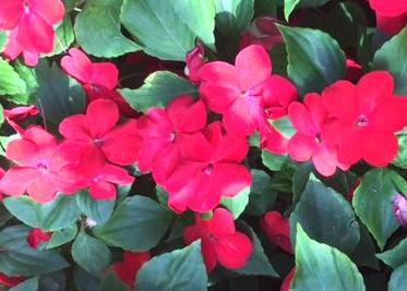 Super Elfin Impatiens