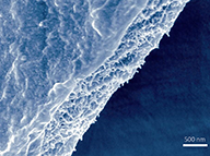 A scanning electron micrograph shows a free-standing Bombyx mori silk nanofibril membrane.  Image courtesy of the researchers.