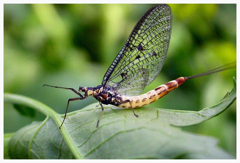 Mayfly insect