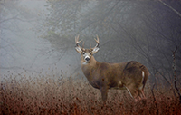 A buck standing in a foggy field and looking at the camera.