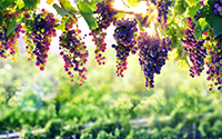 Mixed grapes on the vine