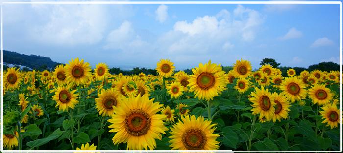 Sunfloswer