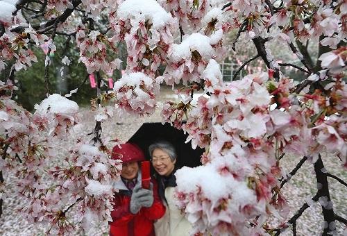 Sakura Spring snow