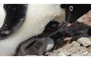 Baby and parent penguin for Study Ad_lie Penguin Breeding project