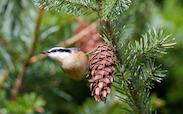Red Breasted Nuthatch on pinecone for Christmas Bird Count