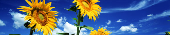 blue-sky-sunflowers-bnr.jpg