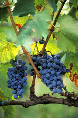 grapes-on-vine.jpg