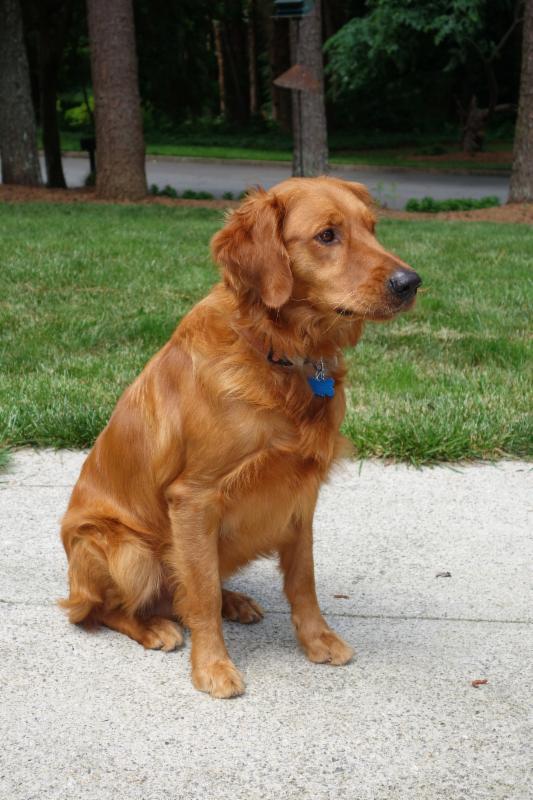 Dog Of The Month Copper Blog Golden Retriever Rescue Of Atlanta