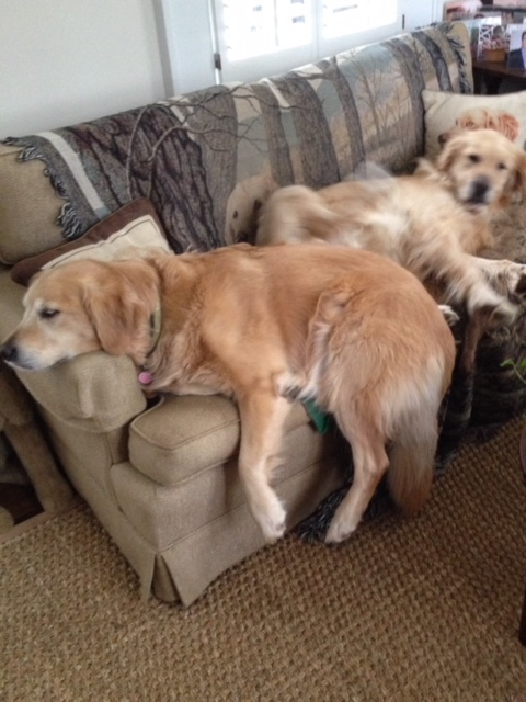 Volunteer Of The Month Susan Dedeyn Blog Golden Retriever