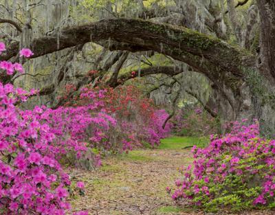 Live Oaks and Azaleas by Mary Louise Ravese
