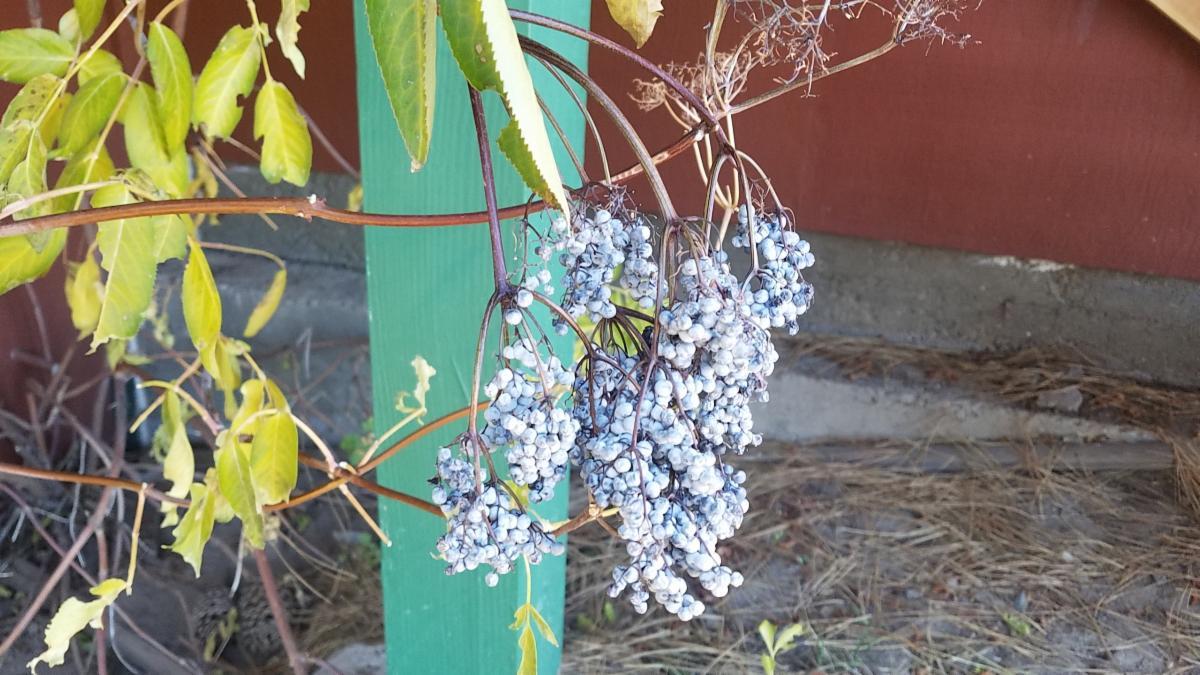 Elderberrys