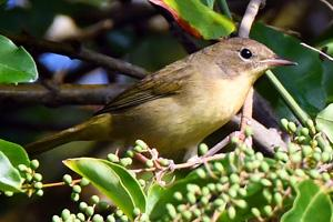 common_yellowthroat_female_fall