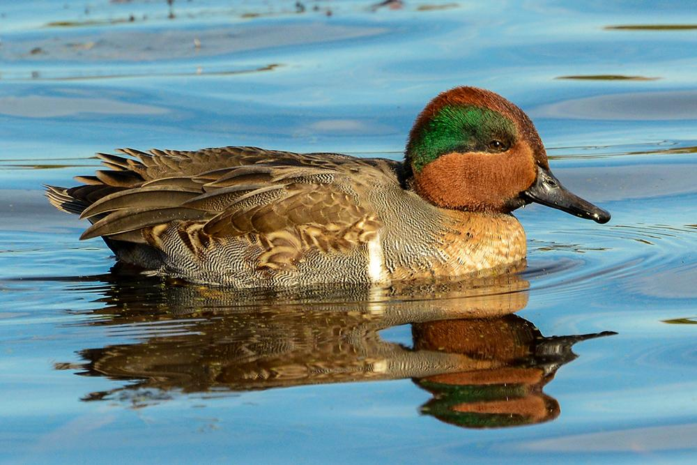 green-winged_teal