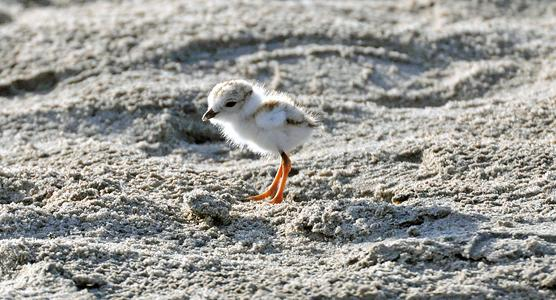 piping_plover_chick
