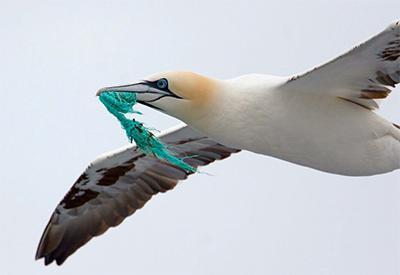 gannet_with_plastic_BirdLife_Cor_Fikkert