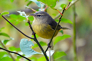 orange_crowned_warbler