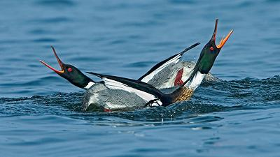 red_breasted_mergansers_mating_display