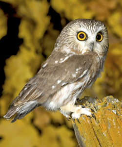 nothern_saw_whet_owl