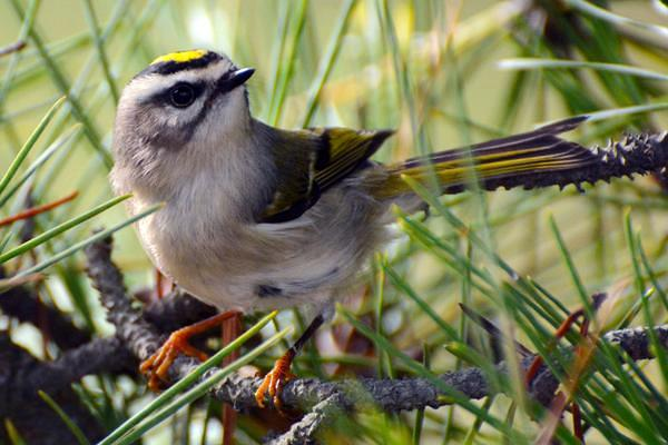 golden_crowned_kinglet