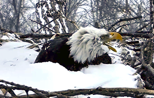 bald_eagle_explore_nestcam