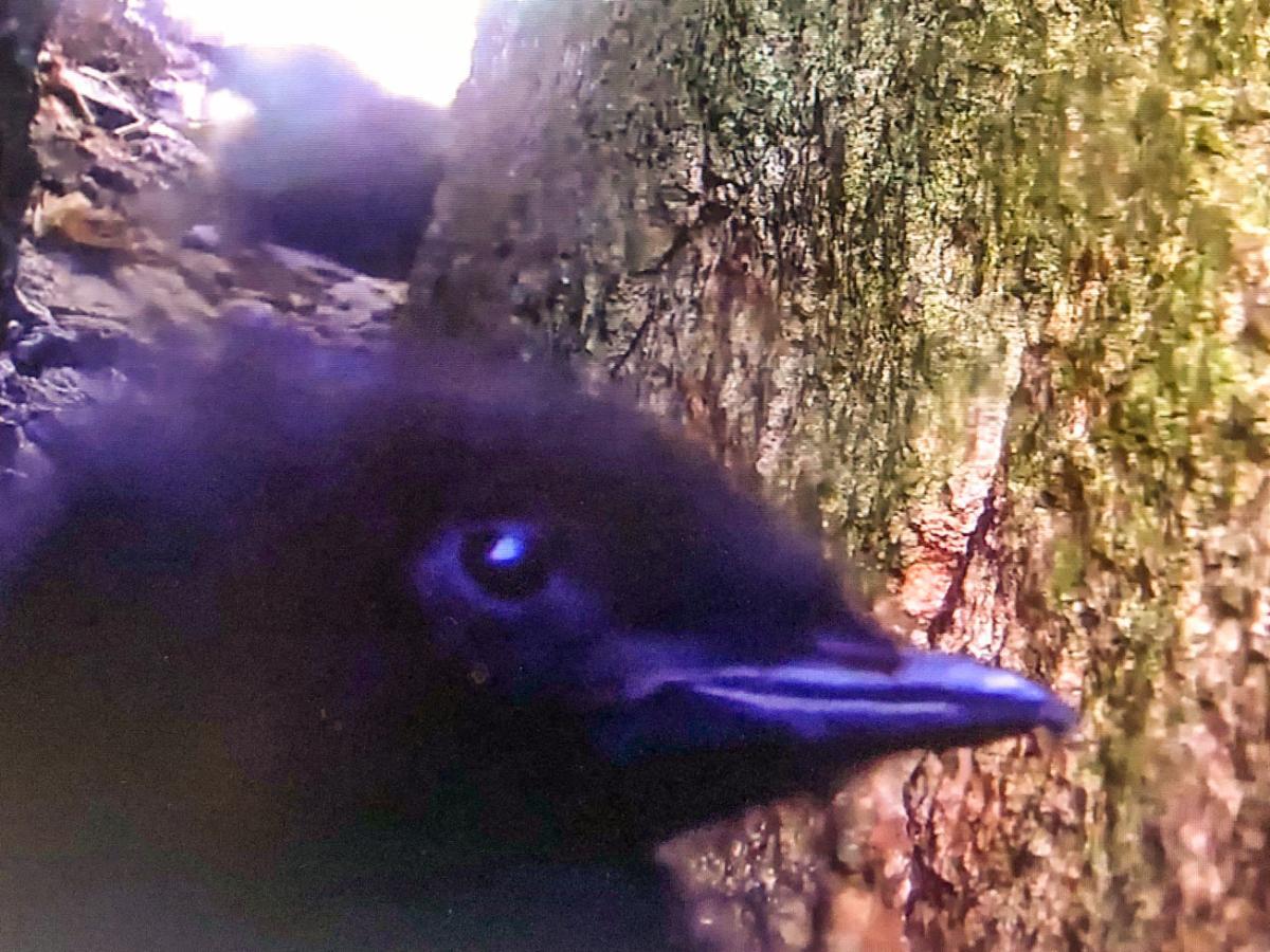 guillemot_nestcam_Audubon_explore