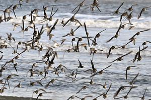 shorebirds_in_flight_flock