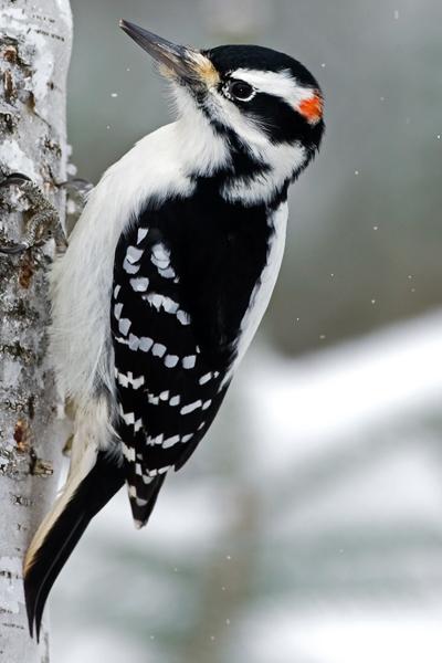 hairy_woodpecker