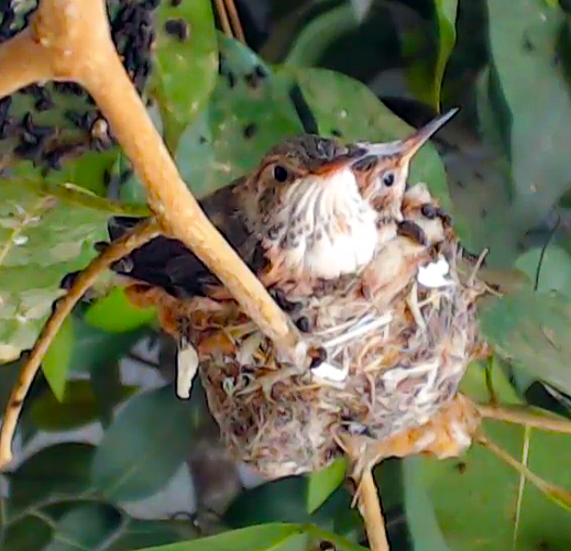 explore_hummingbird_nestcam