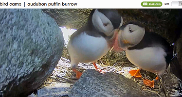 atlantic_puffins_nestcam