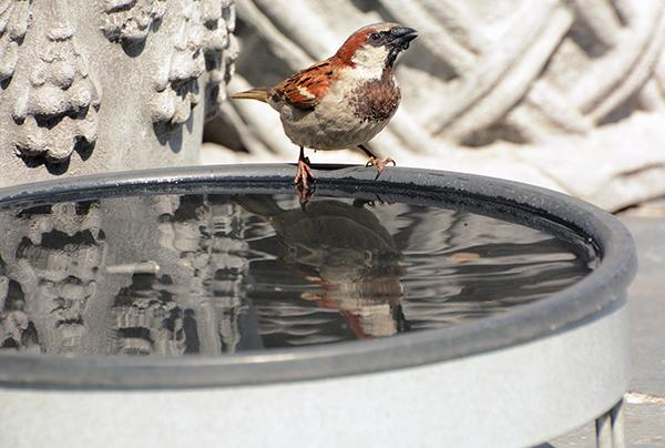 house_sparrow_bath