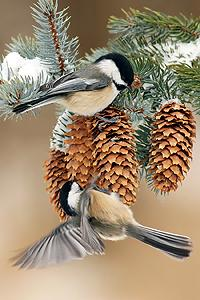 black_capped_chickadee