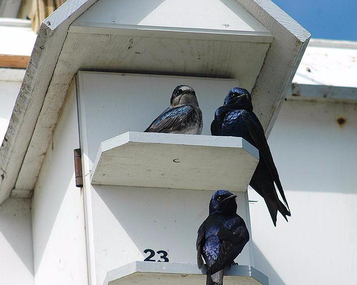 purple_martins_house