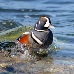 harlequin_duck