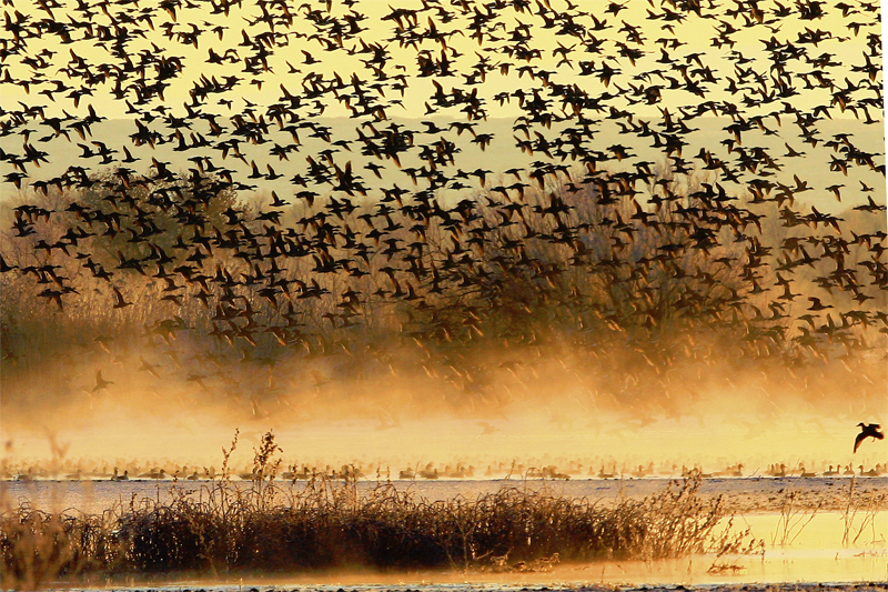 bosque_del_apache_ducks